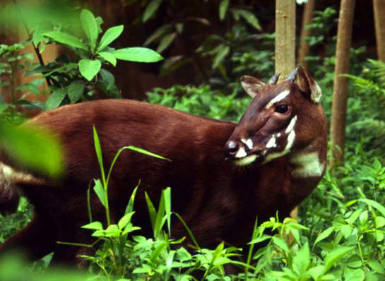 Saola (Source image: relivearth.com)